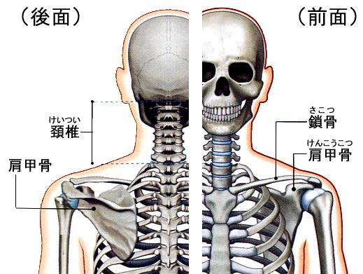 「首の構造 イラスト」の画像検索結果