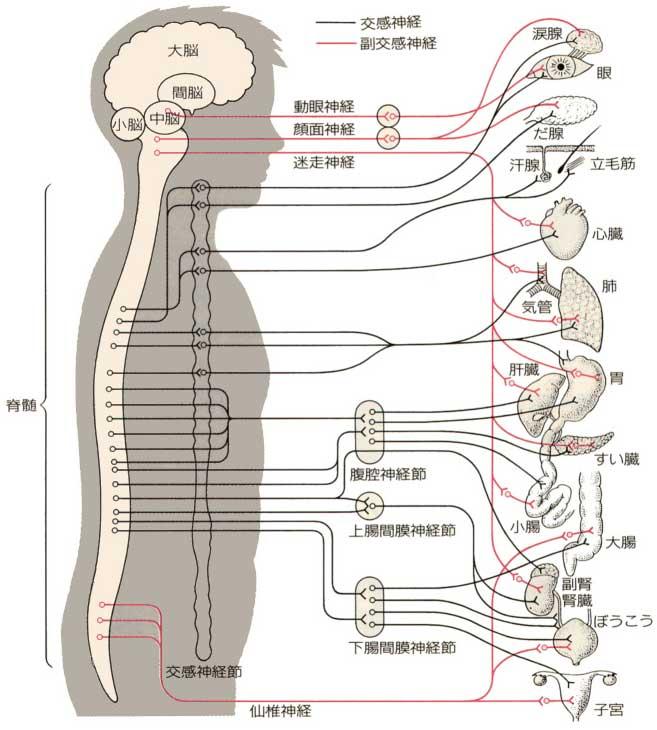 なぜ背中の痛みが内臓の病気や離れた箇所の障害でも起こるの ...
